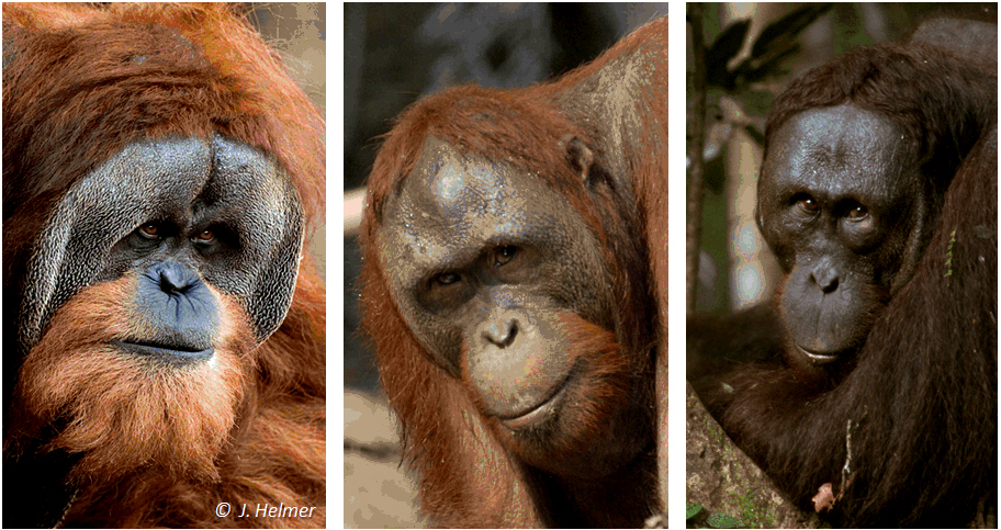 Comparing orangutans - 3 faces