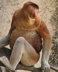 Proboscis-Monkey-Adult