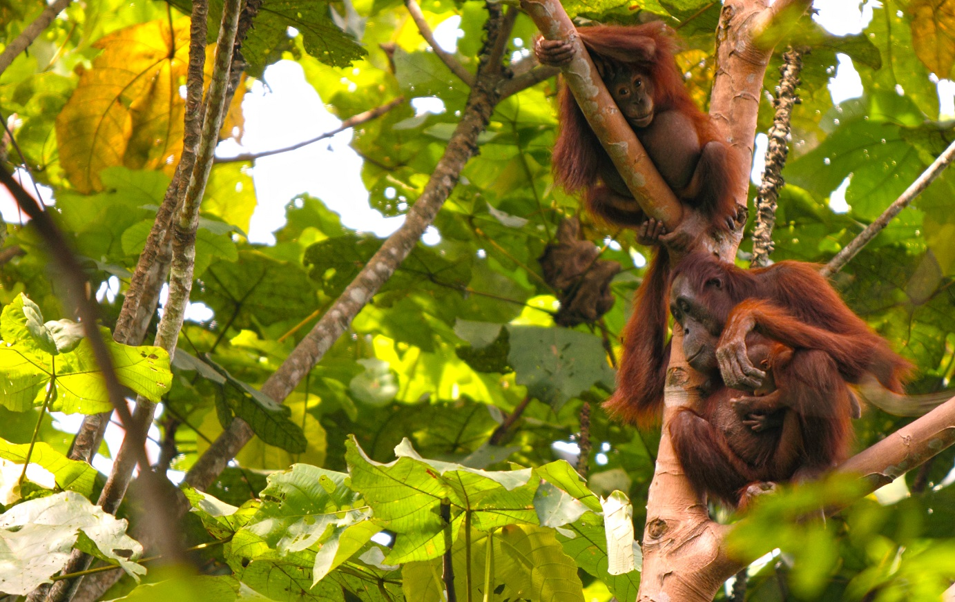 Putri, Pur and a new baby are an orangutan family that the researchers at OKP follow