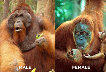 https://www.orangutan.com/wp-content/uploads/2010/11/male_female-300x204.png