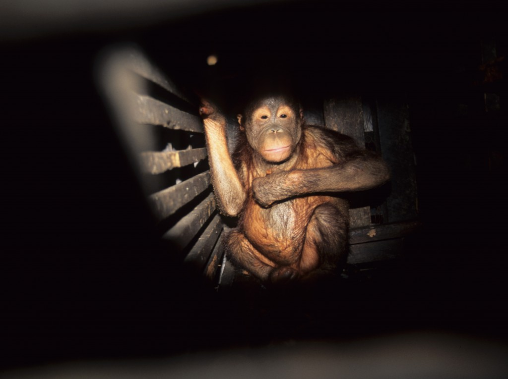 Orangutan in small wooden cage. (Photo from OC archives, courtesy of CITES).