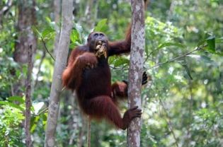 Seventy percent of wild orangutans currently live outside protected areas. (JG Photo/Safir Makki)