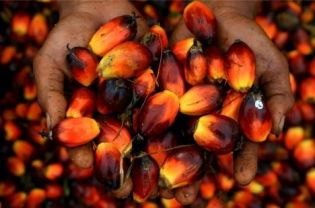 Palm oil seeds (AFP Photo/Sutanta Aditya)