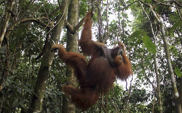 A male orangutan hangs from a tree in Gunung Leuser National Park in Langkat district of the Indonesia's North Sumatra Park. (Photo : Reuters)