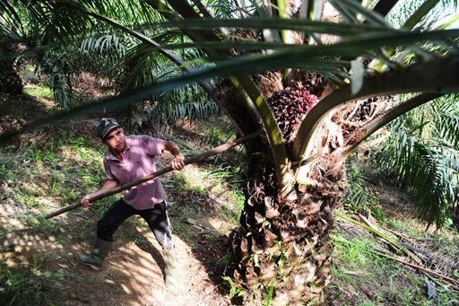 A worker harvests palm fruit in a plantation owned by PT Tinting Boyok Sawit Mandiri (TBSM) in Sanggau district, West Kalimantan.  Photo: (Antara/Jessica Helena Wuysang)