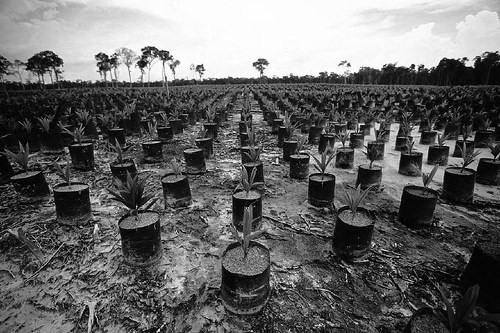 Photo from OC files.  A new palm plantation where the rainforest once stood.