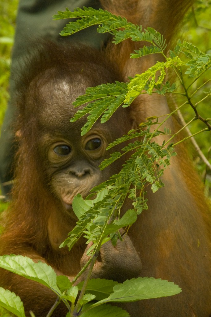 photo from the Orangutan Conservancy archives.