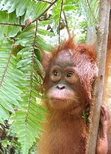 An orangutan free in the forest, as it should be.  photo from OC archives.