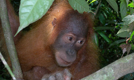 The orangutans of Sumatra are endangered due to the loss of their rainforest habitat. Photograph: Adam Gartrell/AAP