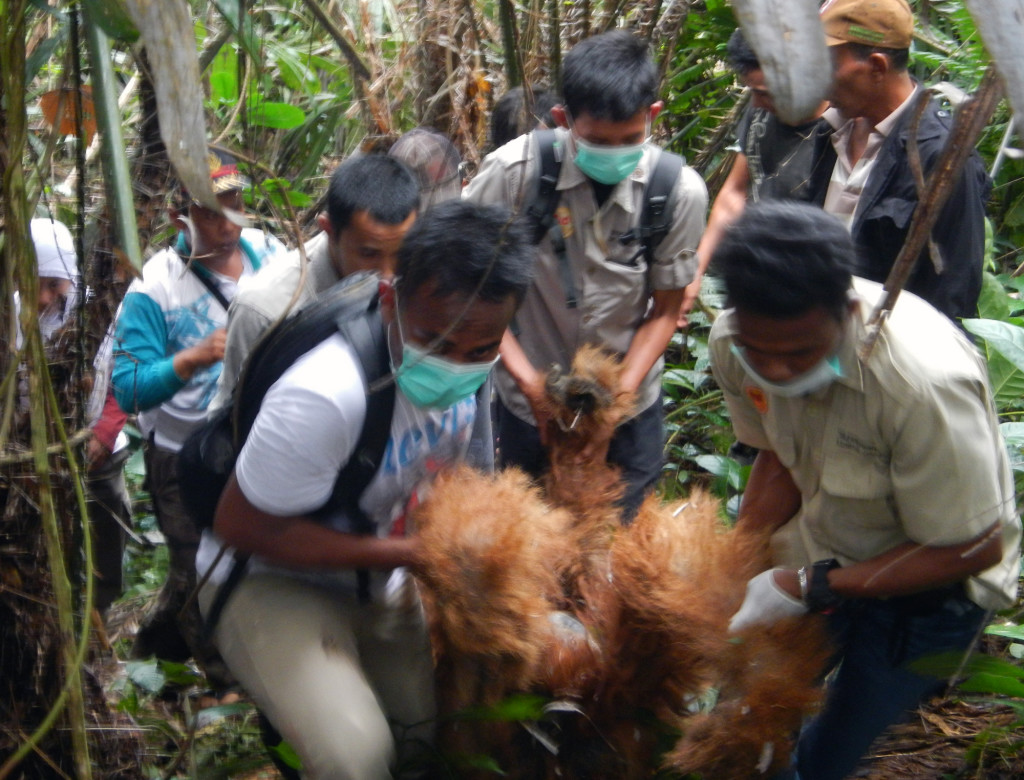 The team of rescuers from the Sumatran Orangutan Conservation Program (SOCP) and the Orangutan Information Center (OIC) evacuate a severely injured male orangutan from a Salak plantation in Sugi Tonga village in the South Tapanuli district of North Sumatra on Tuesday, Nov. 19, 2013. (Photo courtesy of the OIC)