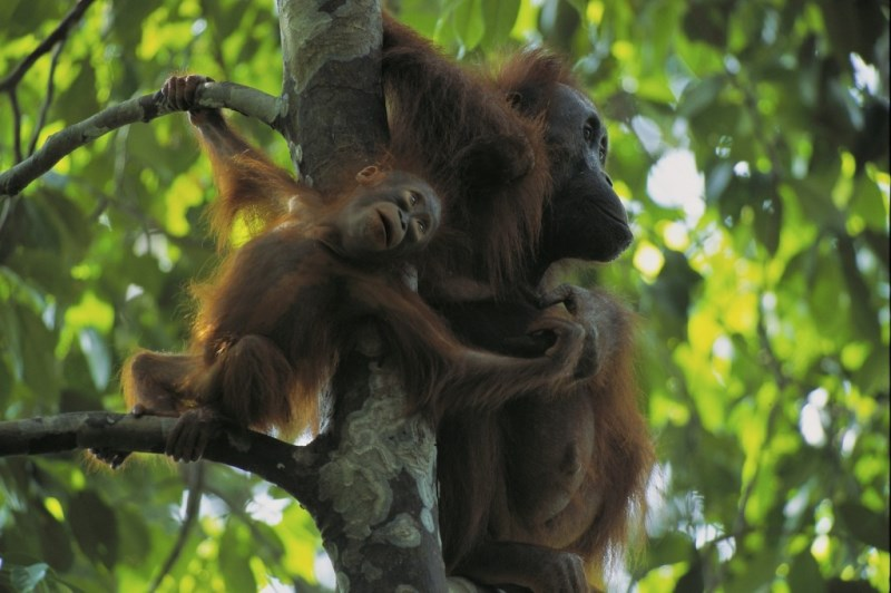 A one year old Bornean orangutan with its mother. (photo by Tim Laman from the Orangutan Kutai Project)