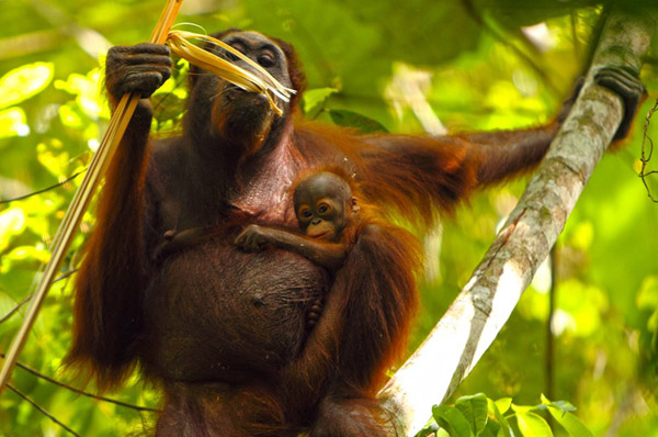Putri and her new baby. Photo courtesy of the Orangutan Kutai Project.