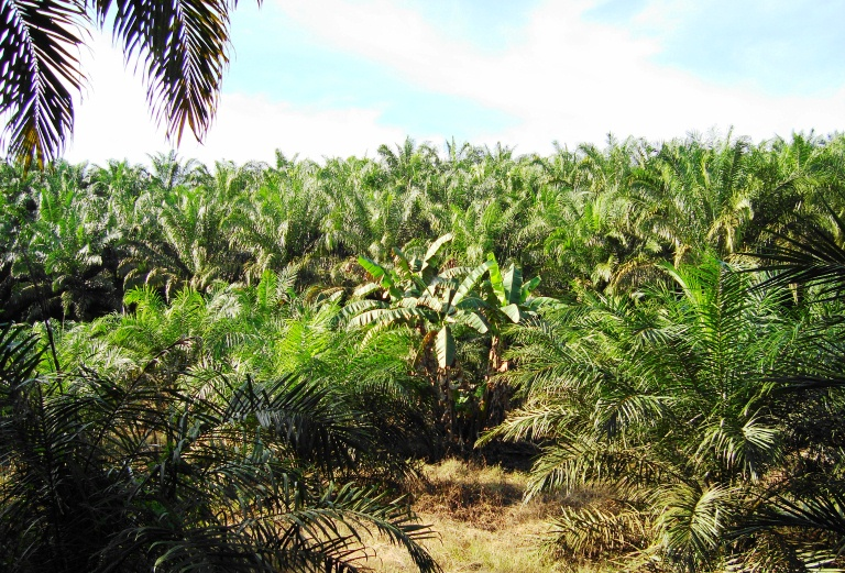 palm oil plantation photo courtesy of Wikimedia Commons.