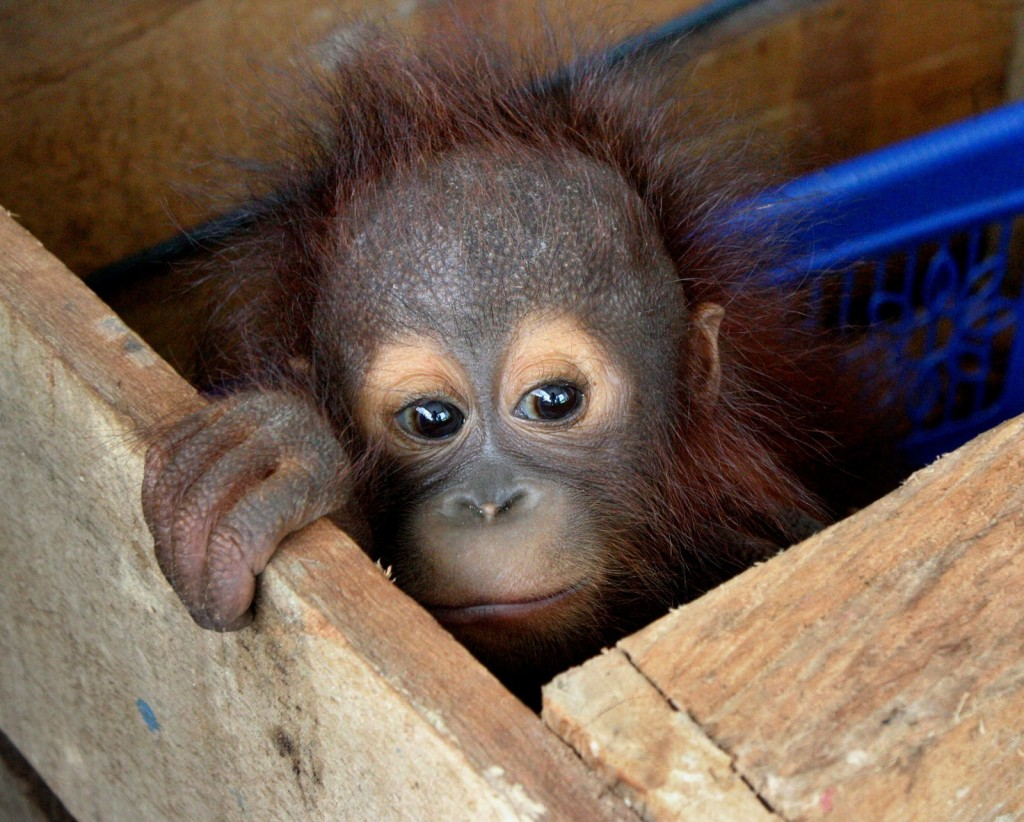 A three-month-old Orangutan baby peeks out from inside a wooden box in East Kutai, East Kalimantan, on Dec. 9, 2011 after being rescued after separated from its mother. (AFP Photo/Firman)