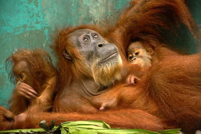 "Photo by Carlos Quiles/Rainforest Action Network. Endangered orangutans' rainforest habitat is being destroyed for palm oil plantations. Yet, instead of changing where the palm oil for their cookies is sourced from, Girl Scouts USA is purchasing misleading ""GreenPalm"" certificates."