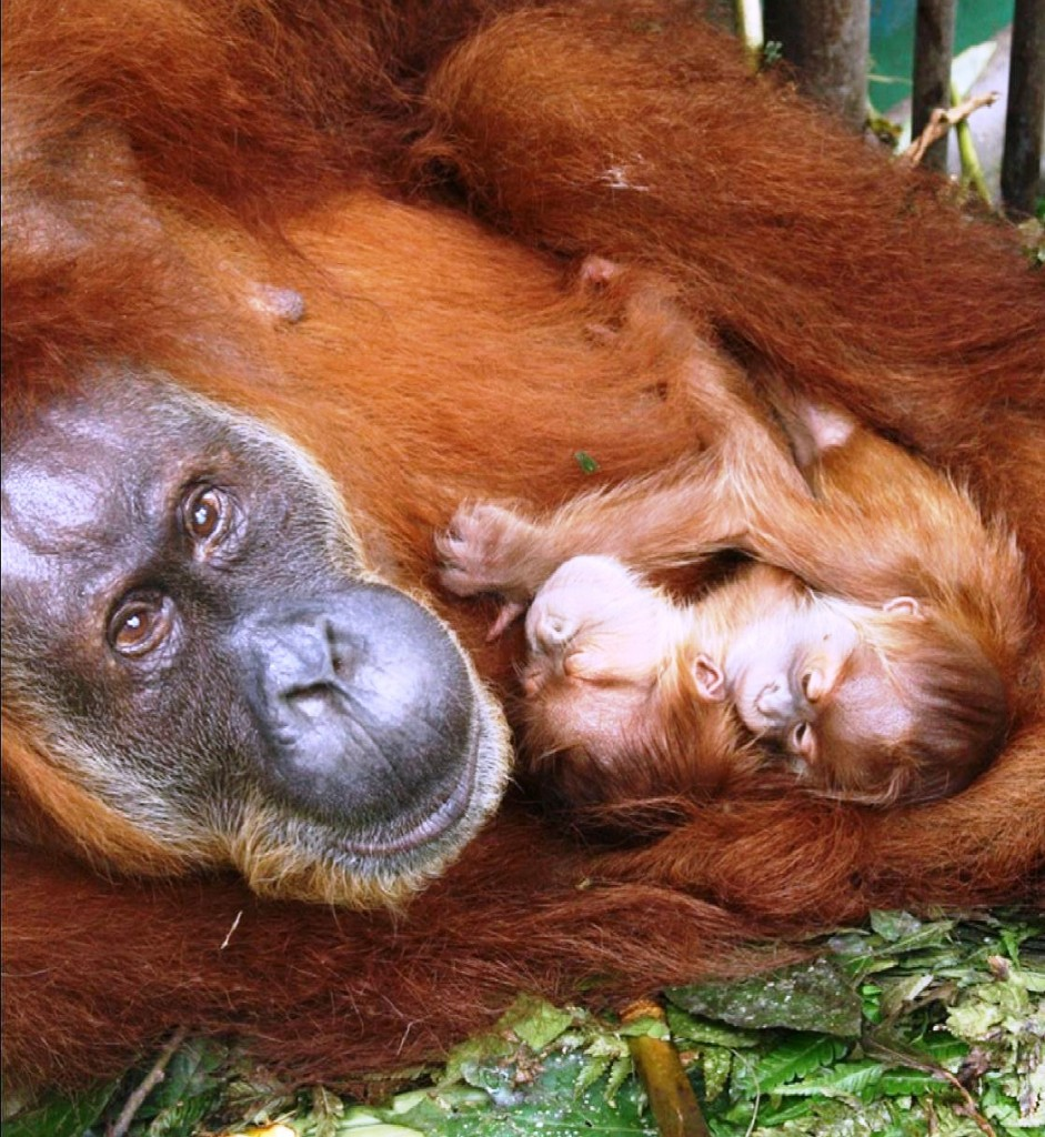 "After two orangutans           ""found' each other they had twins.  Here the mother holds her babies."