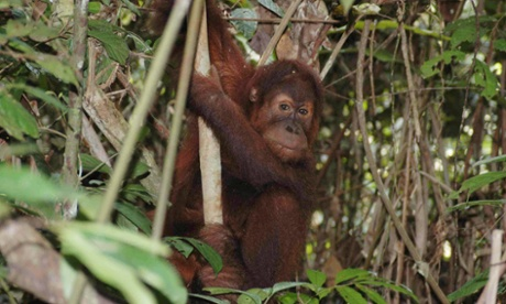 A critically endangered orangutan in the Jambi rainforest in Sumatra. Photograph: Karen Michelmore/AAP