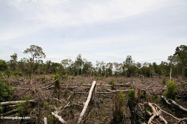 Peat forest clearing for oil palm in Central Kalimantan. Photo by Rhett A. Butler at Mongabay.com