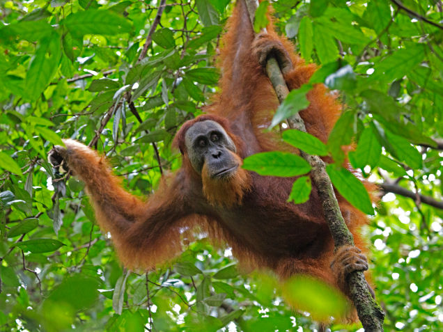 Sumatra and Borneo are the only places in the world where orangutans live in the wild. Both species are endangered, the Sumatran one critically so. And your Halloween candy purchases could make a difference.  photo courtesy of Lip Kee/Flickr