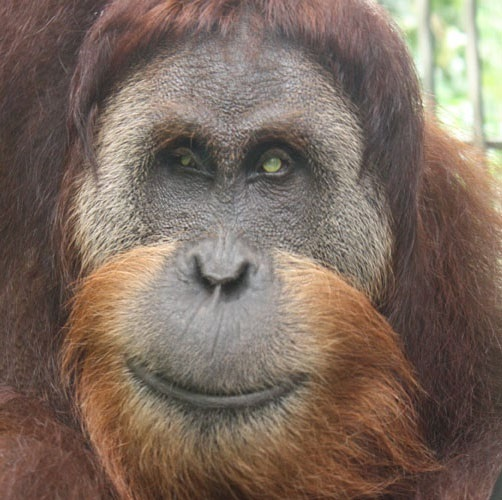Leuser, a blind orangutan, and recent dad, will be one of the future residents of Orangutan Haven