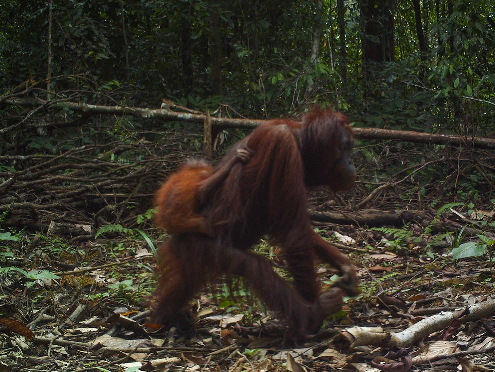 A female orangutan carrying a baby walks down a newly built logging road in East Kalimantan, Borneo. Photo by  Brent Loken