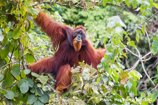 A large male Sumatran orangutan is seen in the canopy of the Leuser Ecosystem in the province of Aceh. Photo: Paul Hilton for OIC