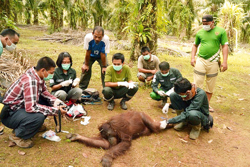 Kindly treated: Volunteers from the Borneo Orangutan Survival Foundation check on an orangutan, after immobilizing it with a tranquilizer dart, in Nehas Liah Bing village, Muara Wahau district, East Kutai regency, East Kalimantan. The orangutan was later relocated to the Wehea protected forest on Friday.(Courtesy of Chris Ringgi)