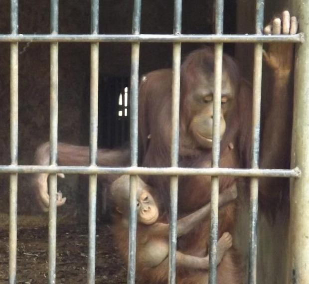 A young orangutan clings to a parent at the Khao Pra Thab Chang wildlife breeding centre in Ratchaburi province. One of 13 orangutans impounded in 2010 gave birth to a baby while at the centre.Saichon... photo courtesy of Bangkok Post