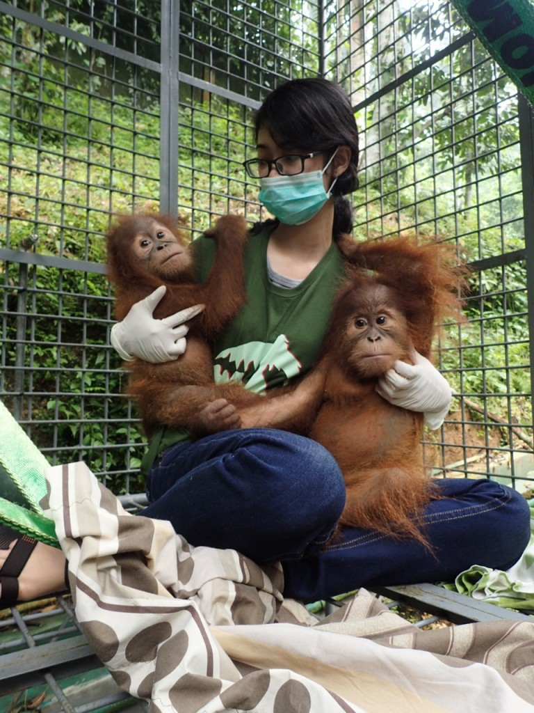 SOCP veterinarian drh Talitha Chairunisa helps settle young orangutans Citrawan (left) and Bobina into their new home at the SOCP orangutan quarantine center near Medan, North Sumatra, Indonesia (courtesy of SOCP)