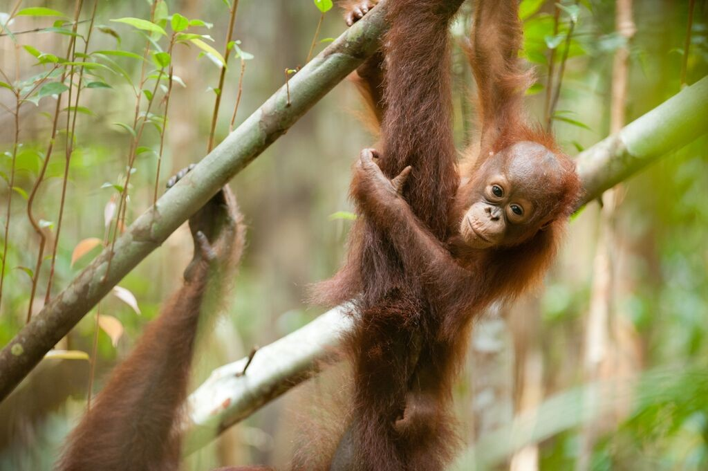 photo from the Orangutan Tropical Peatland Project