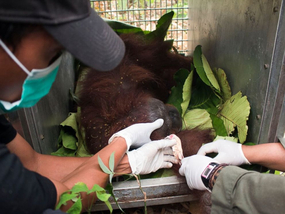 International Animal Rescue and the Agency of Conservation of Natural Resources of Ketapang rescue of a female orangutan and her infant from forest fires in Ketapang, West Borneo.