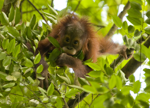 Pur, one of the wild orangutans in our virtual adoption program lives free in the forest of the Kutai National Park