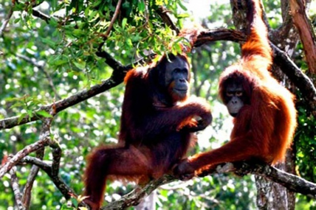 Orangutans relax in a tree in Central Kalimantan. Ecotourism is set to be developed in the province along with along with Aceh and Papua. (JP/J. Adiguna)
