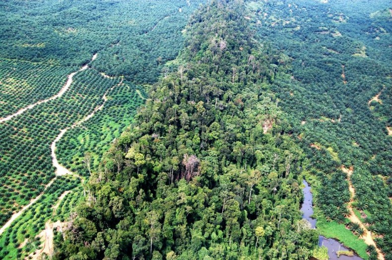 The Lower Kinabatangan Wildlife Sanctuary, already facing increased fragmentation, would be further harmed by the planned construction of a new paved road and a bridge in the area. Photo Credit: NGO Friends of the Orangutans