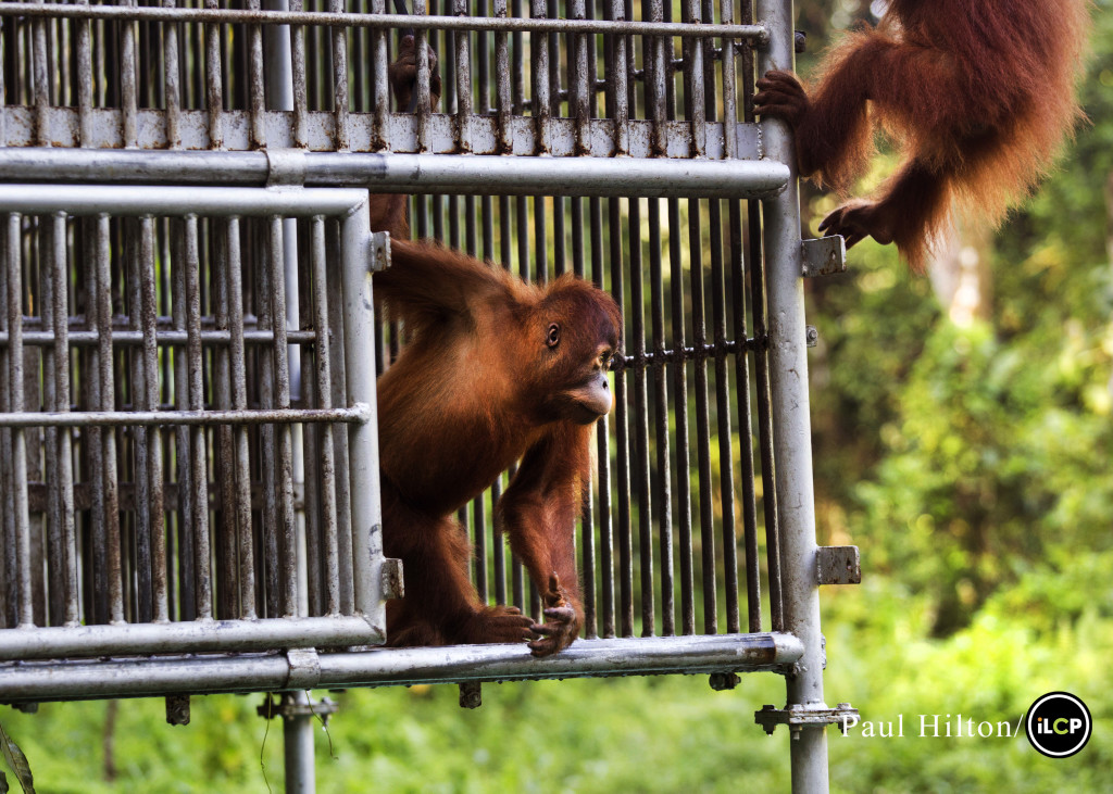Chocolate leaves the cage for the last time. Photo: Paul Hilton for Wildlife Asia