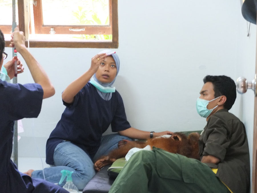 Vet team care for one of the many orangutans at SOCP quarantine facility. photo courtesy of SOCP