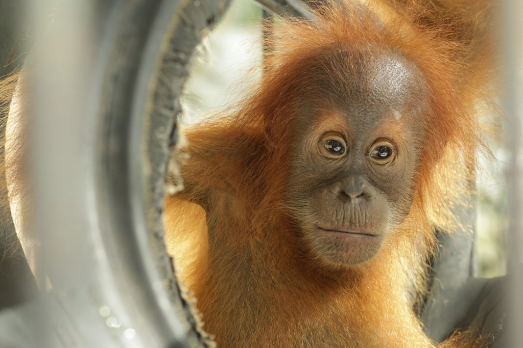 Orangutans. like this little one at SOCP, are cared for by many of the vets that attend the OC/OVAG Workshop.