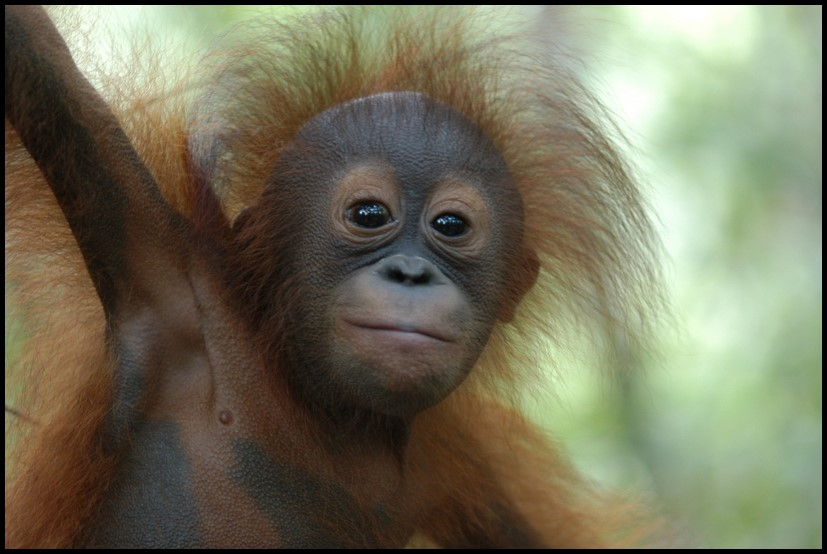 photo from the Orangutan Conservancy archives