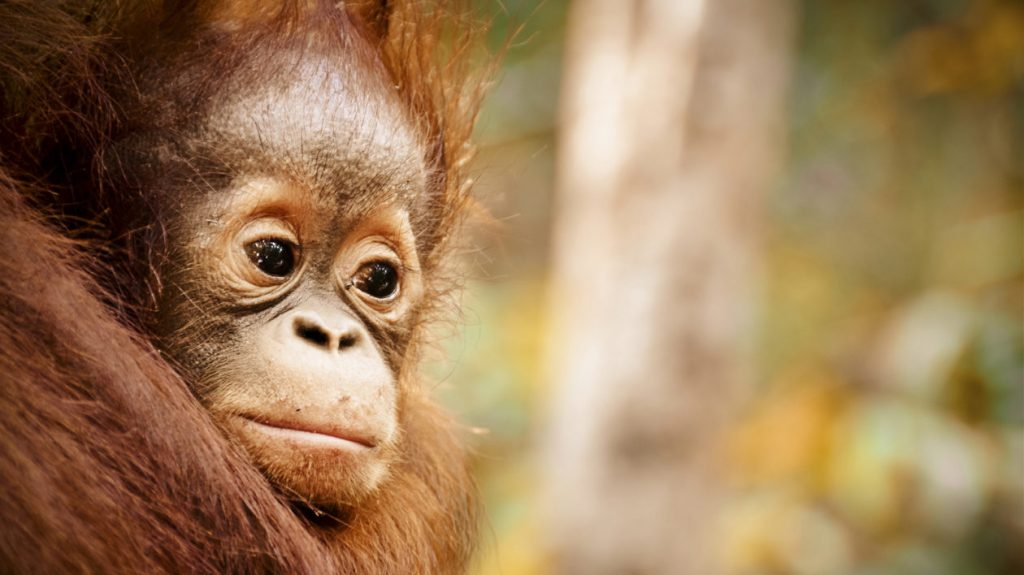 Young oraguntan in Borneo, Indonesia. Photo © Studio in the Wild