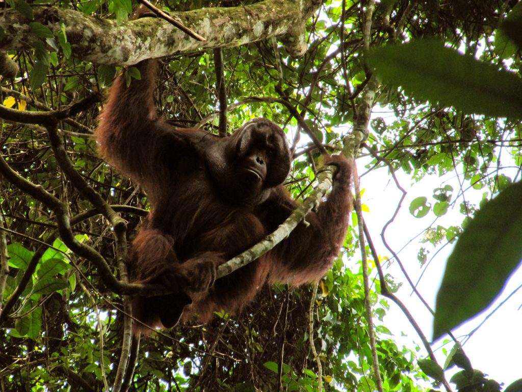 photo from Anne Russon of the Orangutan Kutai Project