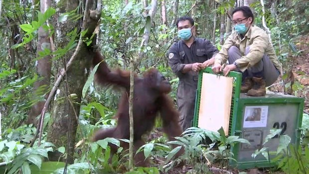Orangutan released back into the wild at Kehje Sewen forest in East Kalimantan, Indonesia, photo from AP Video, AP