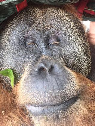 Tengku the orang-utan is fighting for his life after being struck by 60 air rifle pellets.Source:Supplied