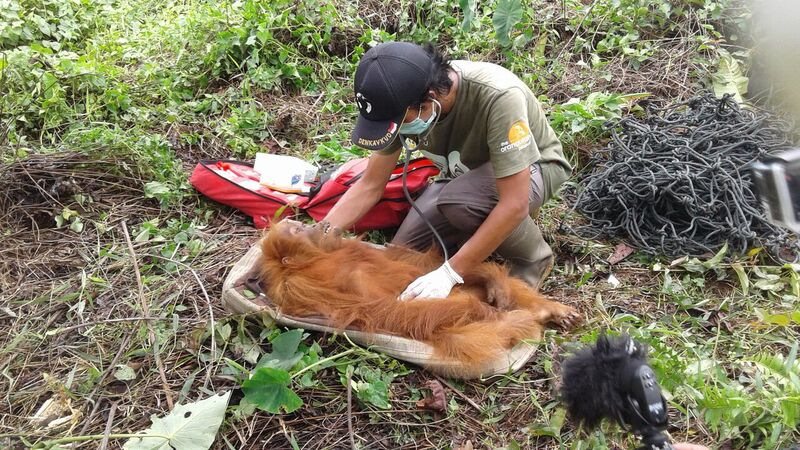Zaskia, shortly after rescue, is given a medical check