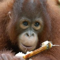 Learn about Orangutans