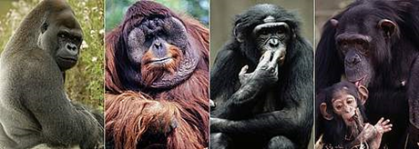The great apes, pictured left to right are  gorillas, orangutans, bonobos, and chimpanzees. They are humankind's closest living relatives.