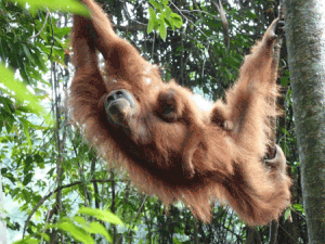 An orangutan utilizes all four limbs to travel through the rainforest canopy. They often use both hand and foot when traveling through the treetops.